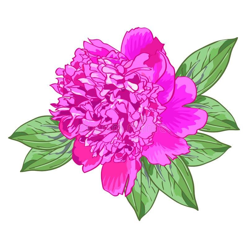 Pivoine rose simple avec les feuilles vertes illustration stock