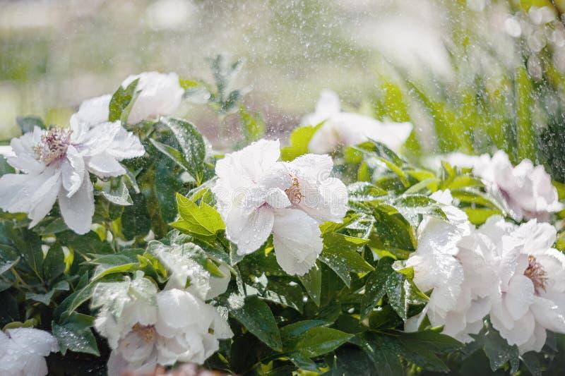 Pivoine sensible d'arbre de rosier avec des bourgeons en gros plan sous la pluie Plantation du jardin Conception d'horizontal images stock