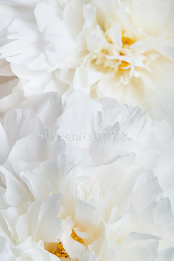 Pivoines blanches en gros plan photographie stock libre de droits