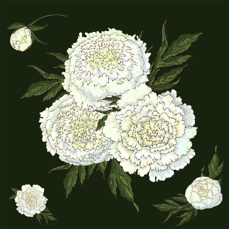 Pivoines de vecteur Ensemble de fleurs blanches d'isolement E r illustration stock
