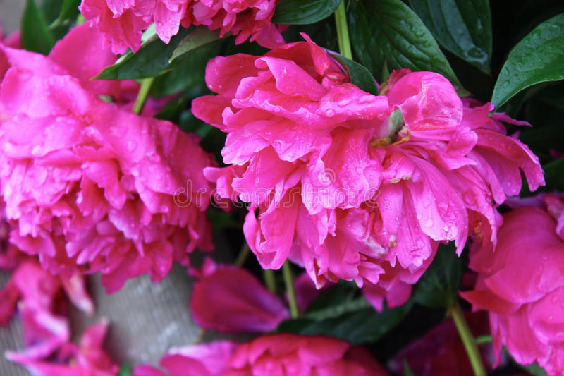Pivoines fleurissantes images stock