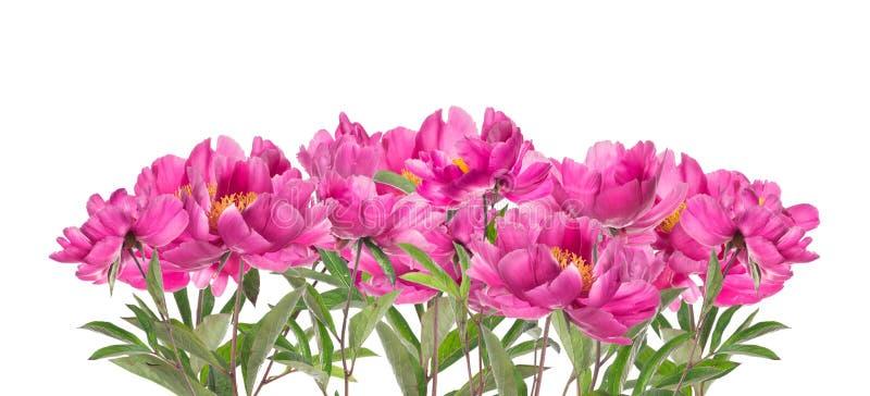 Pivoines roses, d'isolement sur le blanc photographie stock