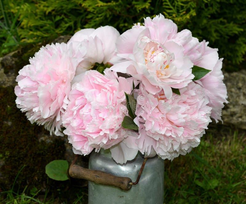 Pivoines roses dans le jardin photos stock