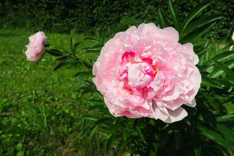 Pivoines roses dans le jardin sur le fond luxuriant vert images stock