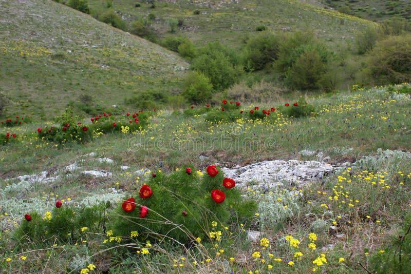 Pivoines rouges sur un fond des collines vertes, ciel blanc photographie stock libre de droits