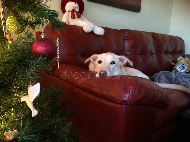 Pixie το σκυλί καναπέδων Χριστουγέννων στοκ φωτογραφίες με δικαίωμα ελεύθερης χρήσης