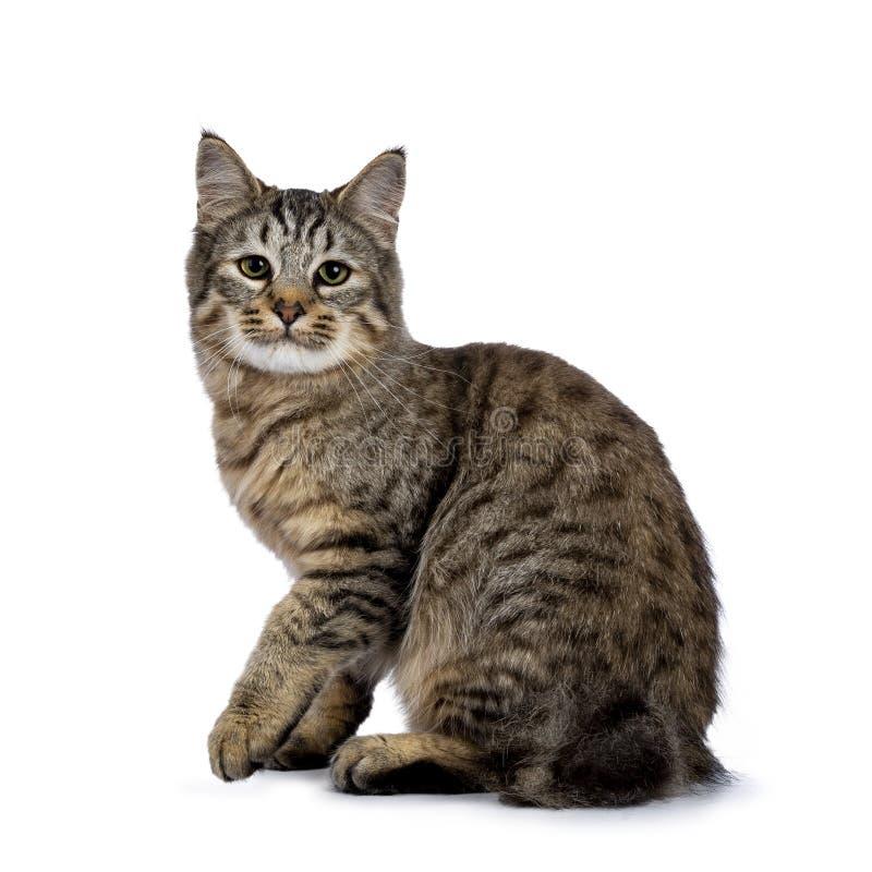 Pixie Bob-kattenkatje die zijdiemanieren zitten op witte achtergrond worden geïsoleerd en lens met één opgeheven poot onderzoeken stock afbeeldingen