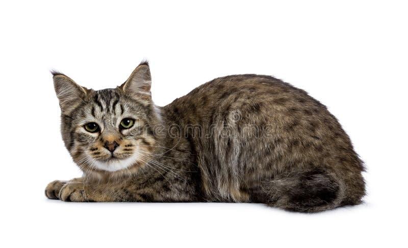 Pixie Bob kota figlarka kłaść w dół bocznych sposoby odizolowywających na białym tle i patrzeje kamera obrazy stock