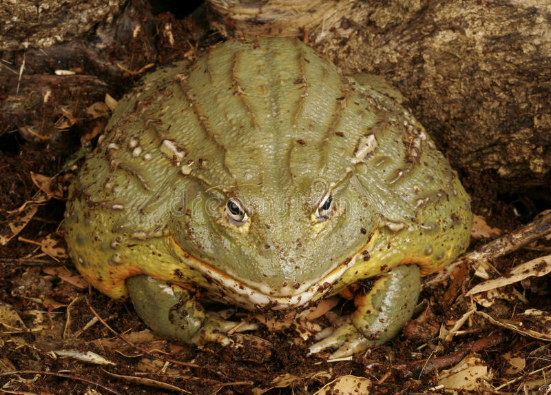 Pixie Frog. African Bull Frog (Pyxicephalus adsperus). Also known as the Pixie Frog stock image