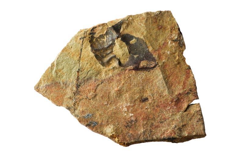 Pizarra con el fósil del trilobite foto de archivo