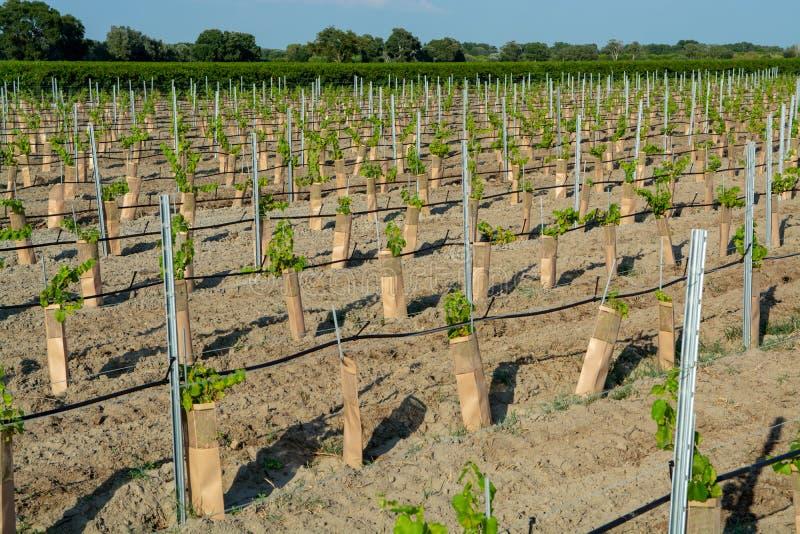 Plántulas de la plantación roja y color de rosa francesa de las uvas de los triunfos en Francia en ámbito o cierre del viñedo del foto de archivo libre de regalías