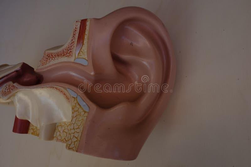 Plástico auditivo del conducto foto de archivo libre de regalías