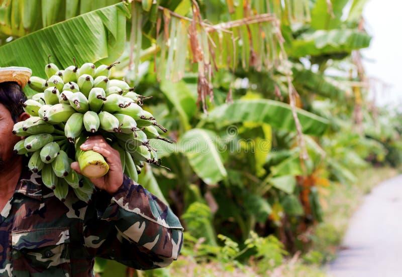 Plátano crudo con el jardinero foto de archivo