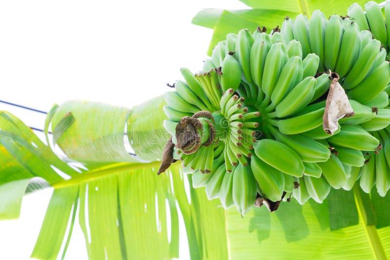 Plátano crudo y manojo en el árbol en naturaleza con el fondo blanco fotografía de archivo