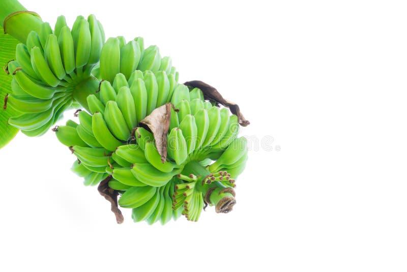Plátano crudo y manojo en el árbol en naturaleza con el fondo blanco foto de archivo libre de regalías