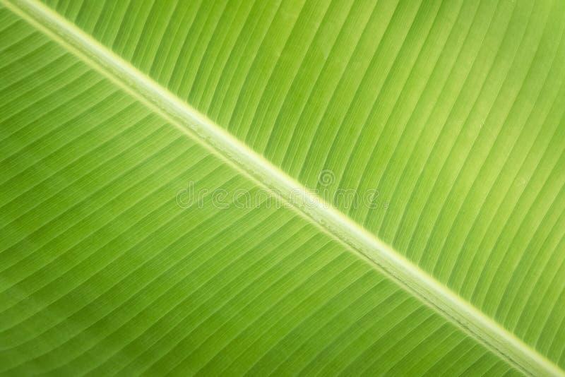 Plátano de la hoja del verde del fondo de la textura foto de archivo
