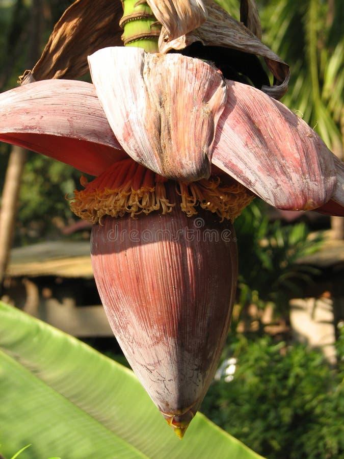 Plátano durante el florecimiento fotografía de archivo