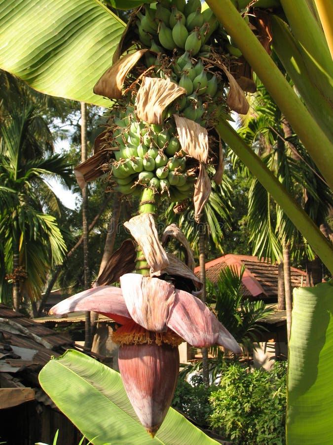 Plátano durante el florecimiento imagenes de archivo