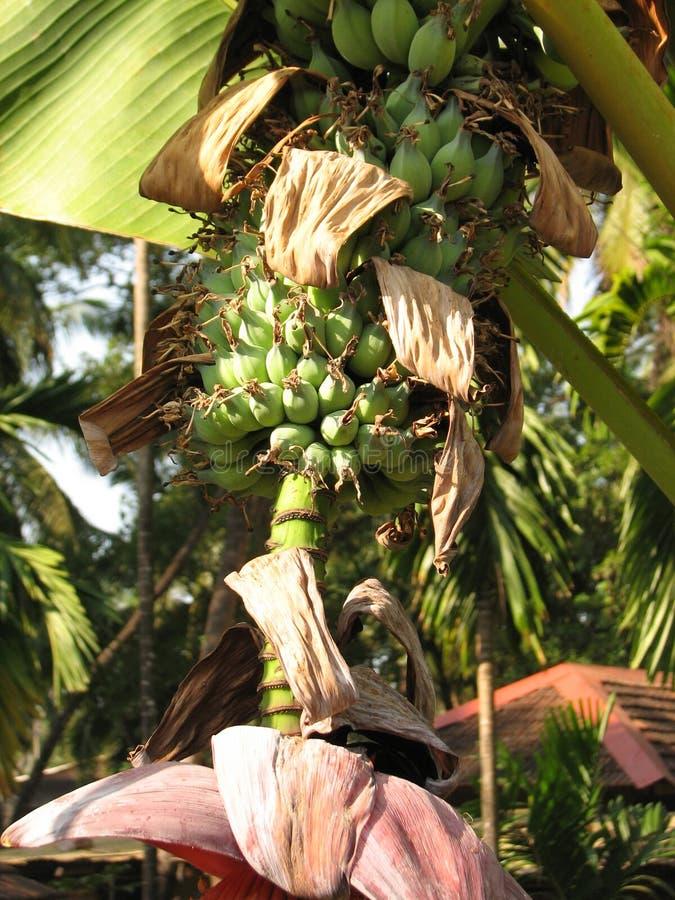 Plátano durante el florecimiento foto de archivo