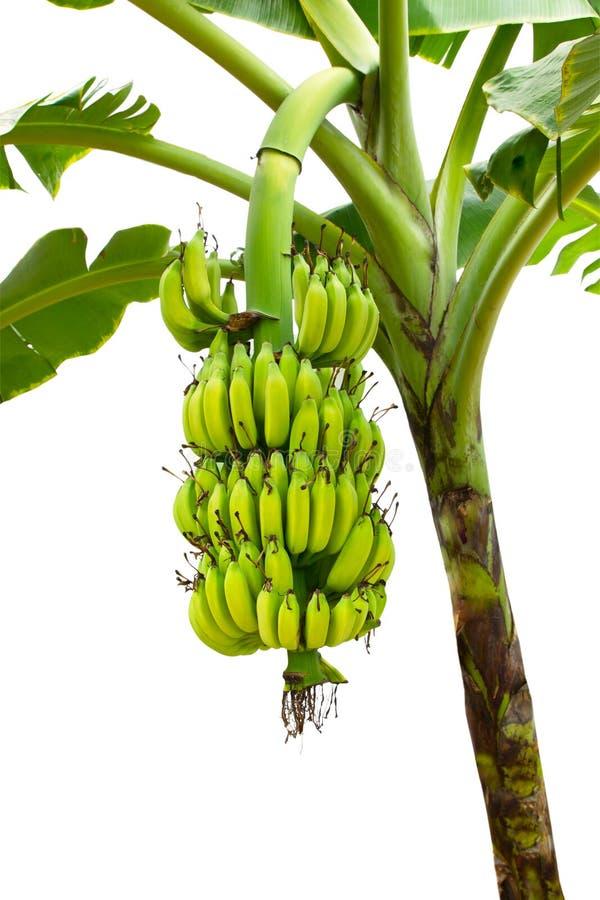 Plátano en el árbol aislado en el fondo blanco fotos de archivo