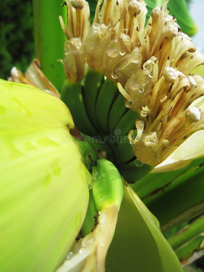 Plátano floreciente fotografía de archivo