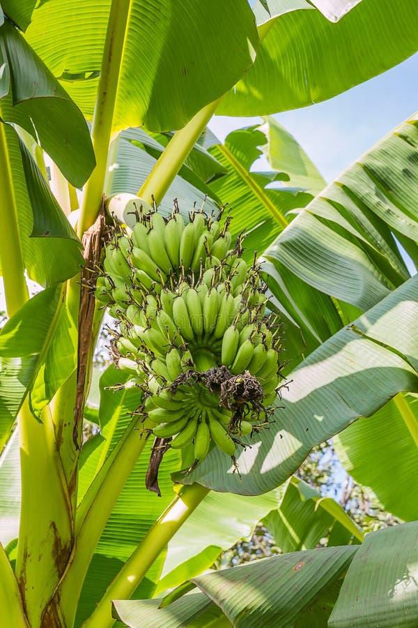 Plátano sin procesar foto de archivo libre de regalías