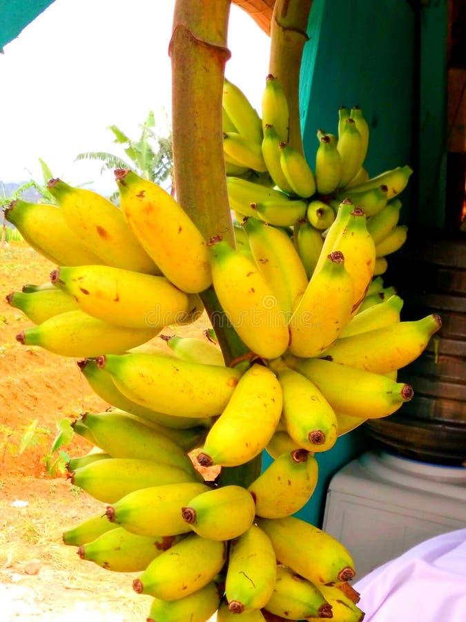 Plátanos de Papan imagen de archivo
