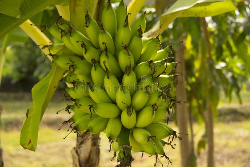 Plátanos de señora Finger imagen de archivo libre de regalías