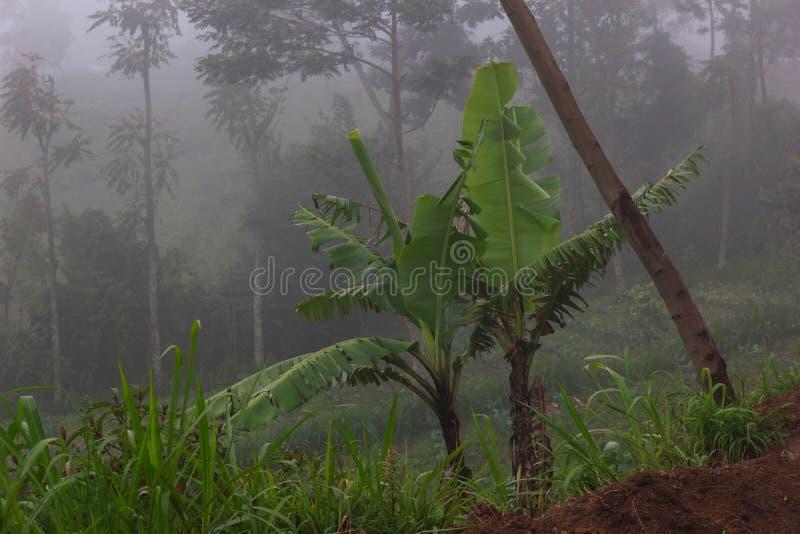 Plátanos en la niebla imagen de archivo