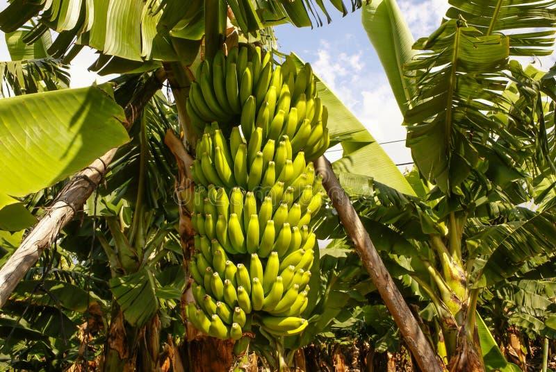 Plátanos que crecen, Puerto de la Cruz, Tenerife, islas Canarias, SP imagen de archivo