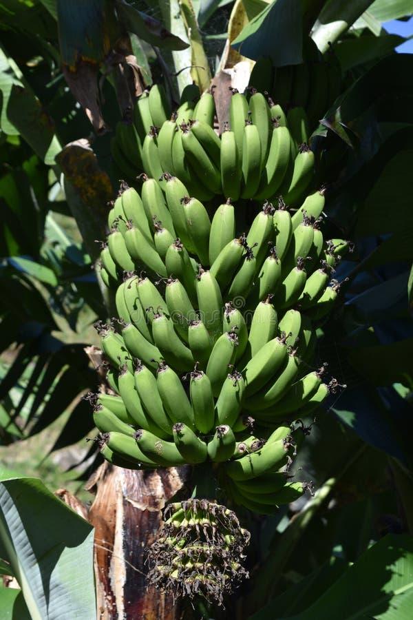 Plátanos verdes que crecen y que cuelgan de un árbol frutal imagenes de archivo
