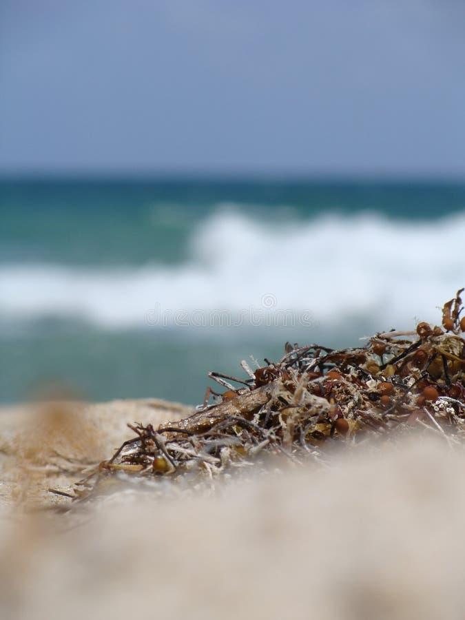Plâncton vegetal na praia, spiaggia, costa foto de stock