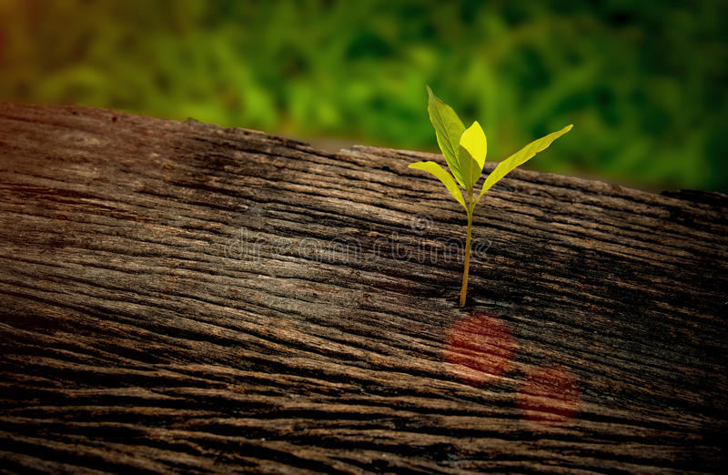 Plântula bonita que cresce no centro o tronco como um conceito da vida nova na manhã do nascer do sol, foto de stock