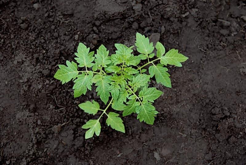 Planta de tomate imagens de stock royalty free