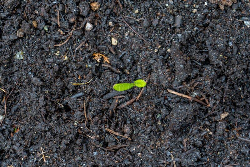 Plântula do Calendula, mostrando as folhas verdes que crescem fora do solo escuro do adubo no tempo de mola, em um jardim real,  imagens de stock royalty free