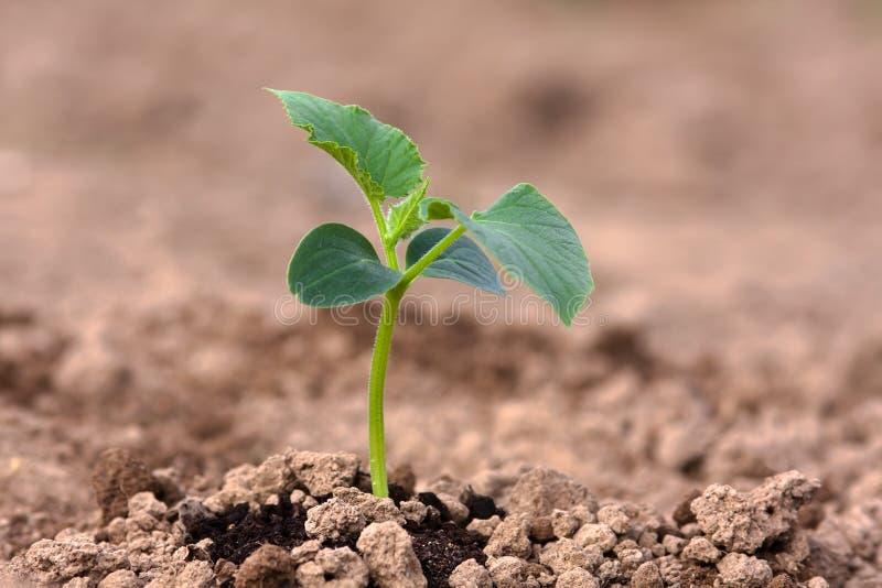 Plântula do pepino no jardim vegetal foto de stock royalty free