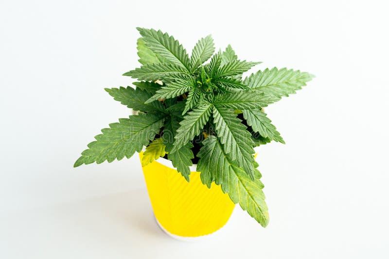Plântula médica da marijuana do fundo do papel de parede fotografia de stock royalty free