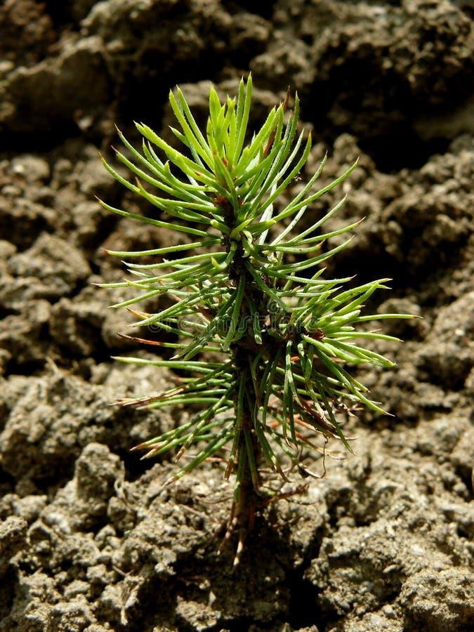 Plântula minúscula da árvore de abeto fotografia de stock