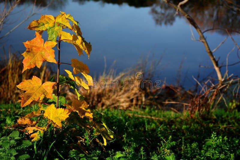 Plântula nova da árvore do outono na grama no banco do rio ou do lago foto de stock royalty free