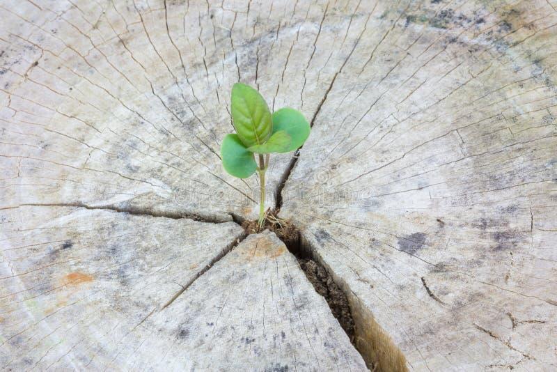Plântula que cresce em uma madeira imagens de stock