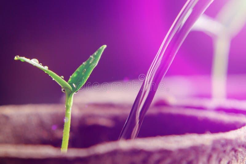 Plântulas crescentes sob lâmpadas artificiais especiais do diodo emissor de luz com um espectro favorável para plantas sem luz so imagem de stock royalty free