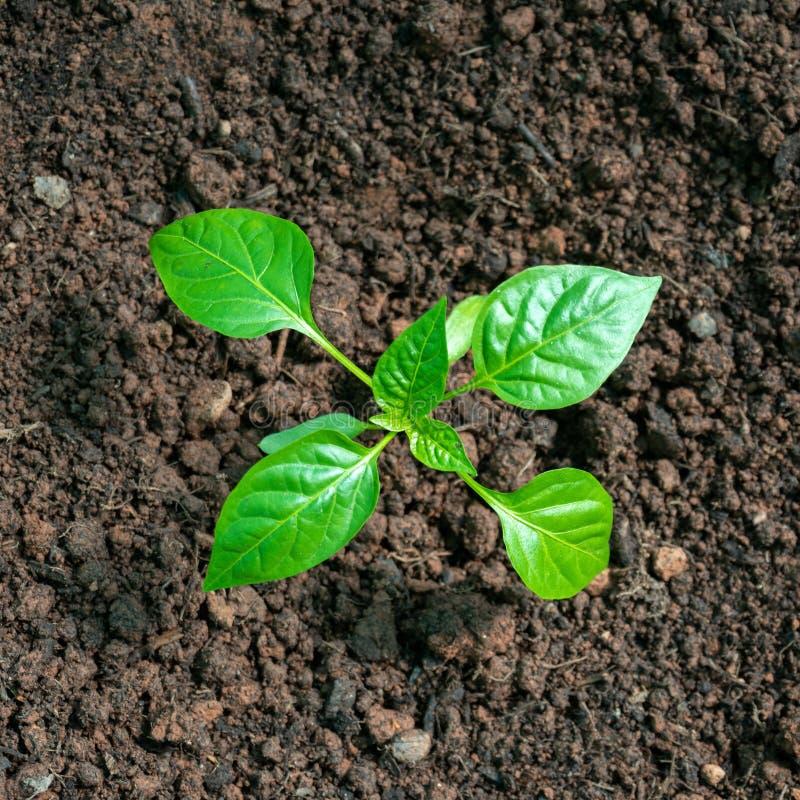 Plântulas da pimenta de sino doce, plantas novas em uma cama do jardim vegetal fotografia de stock royalty free