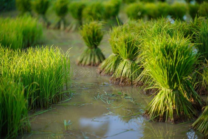 Plântulas de arroz, Agricultura em campos de arroz imagem de stock royalty free