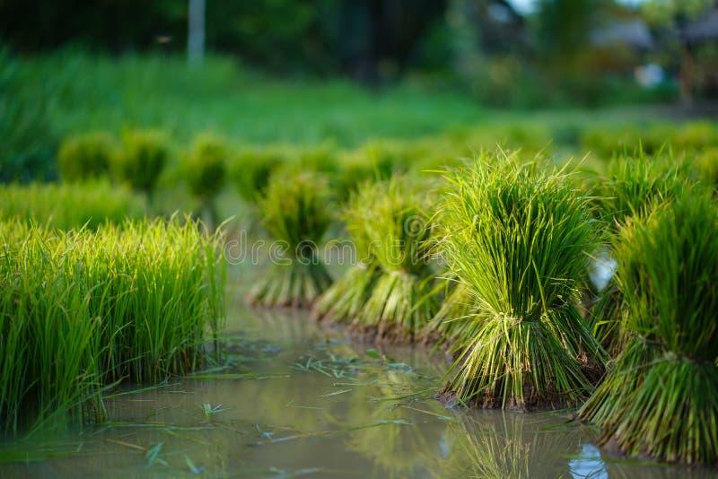 Plântulas de arroz, Agricultura em campos de arroz imagens de stock royalty free