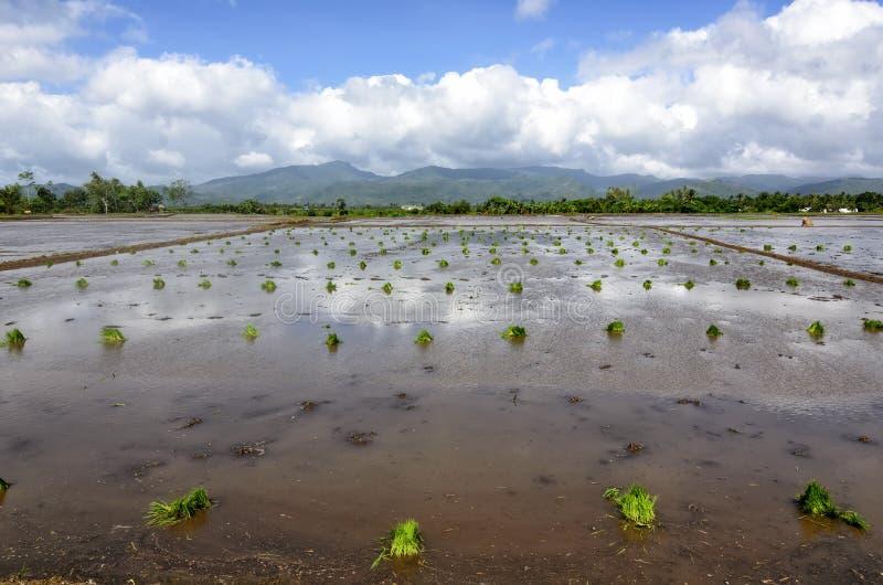 Plântulas do arroz de Filipinas imagens de stock