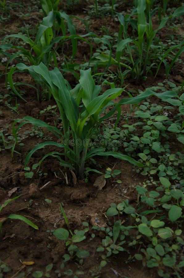 Plântulas do milho, milho, broto fotografia de stock