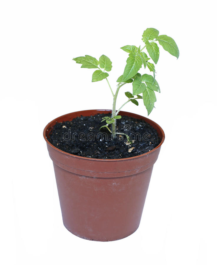 Plântulas do tomate da planta nova no vaso de flores isolado imagem de stock royalty free