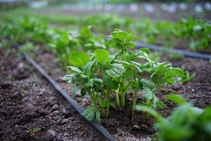 Pl?ntulas dos arbustos das batatas no jardim Mangueira da irriga??o entre fileiras dos vegetais imagens de stock royalty free