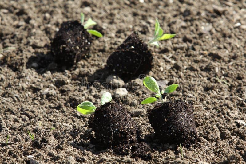 Plântulas dos vegetais nas camas do jardim vegetal imagens de stock royalty free