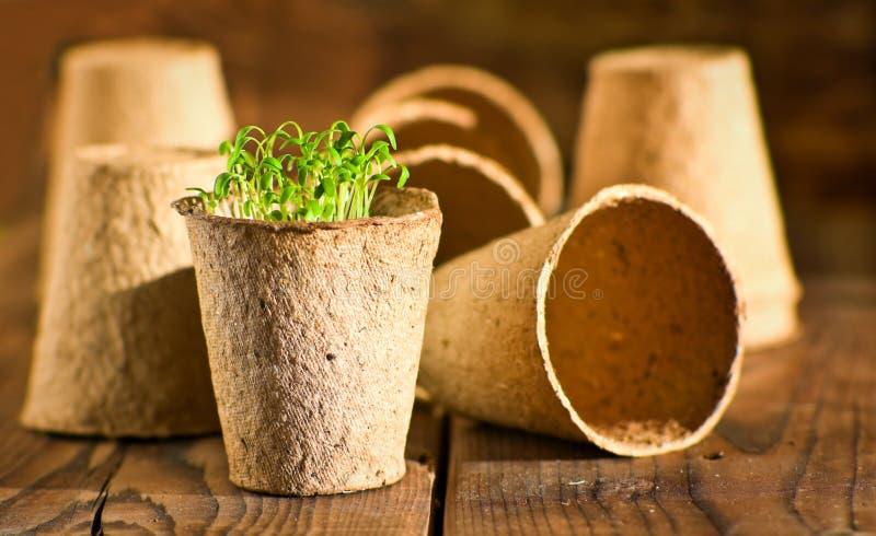 Plântulas em pasta que crescem em uns potenciômetros biodegradáveis do musgo de turfa foto de stock